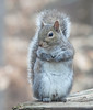 00aFavorite 20120123 Eastern Gray Squirrel on Dilip's deck, Durham NC (1541)