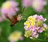 00aFavorite 20070921 Big flying insect enjoying flowers, Duke Gardens 2 of 3