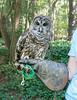 00aFavorite 20140920 Barred Owl (in rehabilitation), Ellerbe Creek, Durham NC (1559)