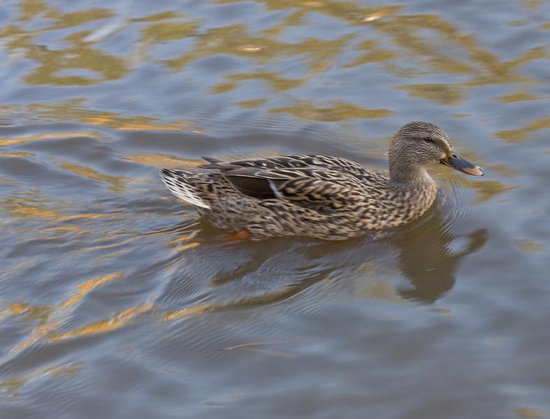 20081108 Duck, Woodlake, Durham NC (505p)
