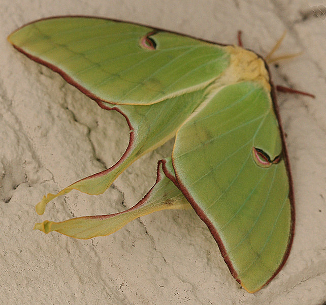 Large green with red edging lunar moth (I think), Charlotte, NC, spring 2007