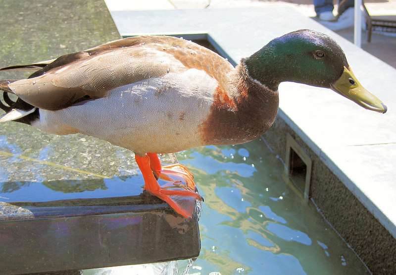 20060506 Duck at Doris Duke Center at Duke Gardens 2 [fillflash]