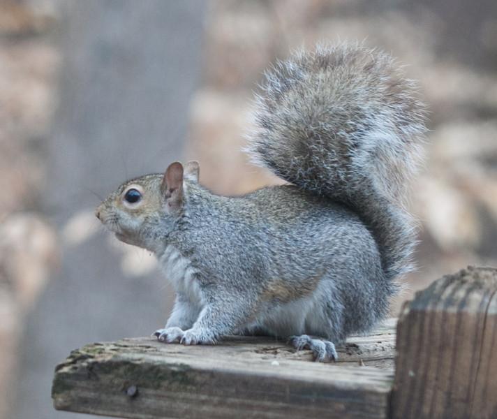 20120123 Eastern Gray Squirrel on Dilip's deck, Durham NC (1555)-3