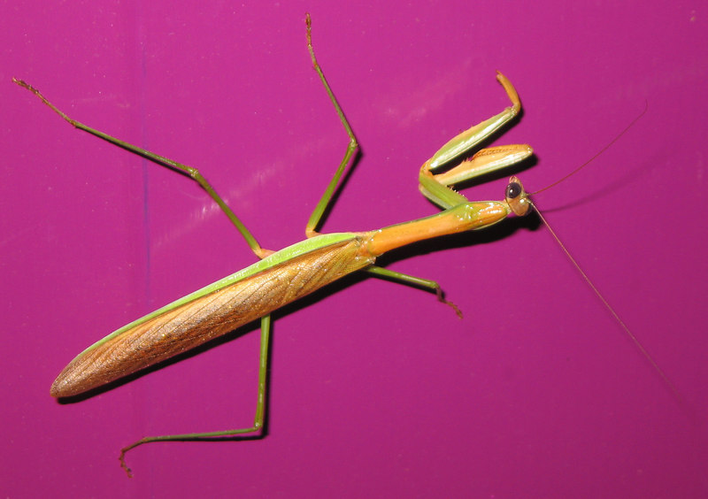 Large (maybe 4-inch) praying mantis on my front door 3