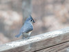 20120123 Tufted Titmouse on Dilip's deck, Durham NC (1600)