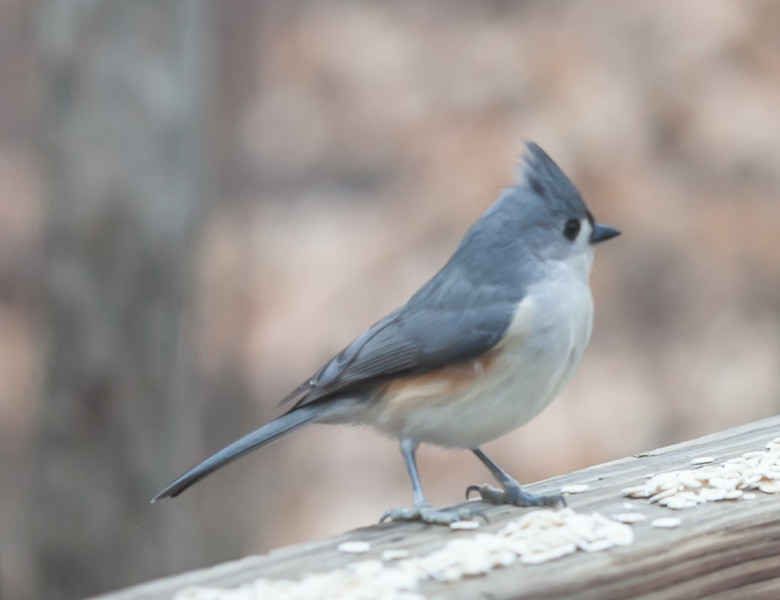 20120123 Tufted Titmouse on Dilip's deck, Durham NC (1543)
