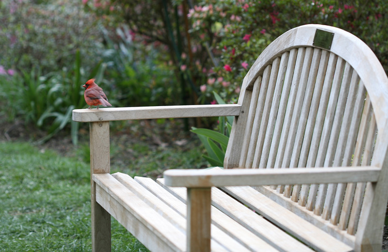 Cardinal perched on garden bench, Sisters' Chapel Hill Garden, Spring 2007