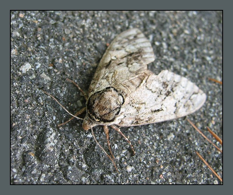 Big moth at Lake Crabtree [borders]