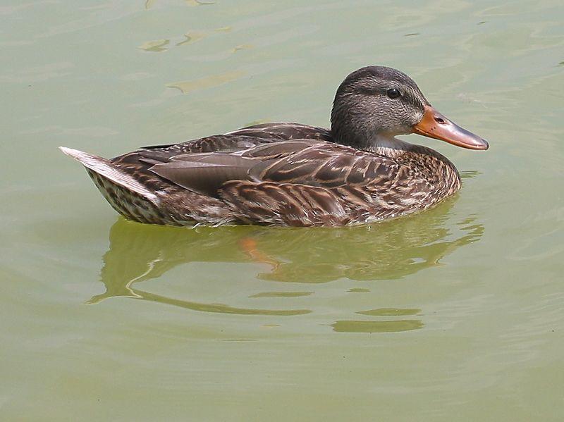 00aFavorite Mallard Duck at pool near Washington Monument