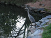 03222009 Great Blue Heron at Duke Gardens (with 4mo Anuragini crying)