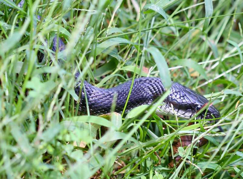 20080919 Black Rat Snake (Elaphe obsoleta obsoleta) (I think) in my yard