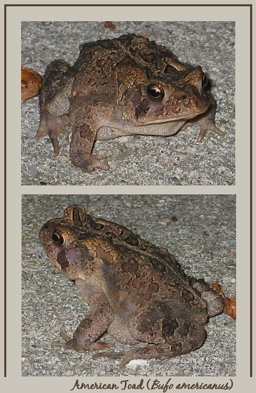 American Toad on my driveway 3 [2 shots, text, borders]