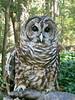 00aFavorite 20140920 Barred Owl (in rehabilitation), Ellerbe Creek, Durham NC (1600)