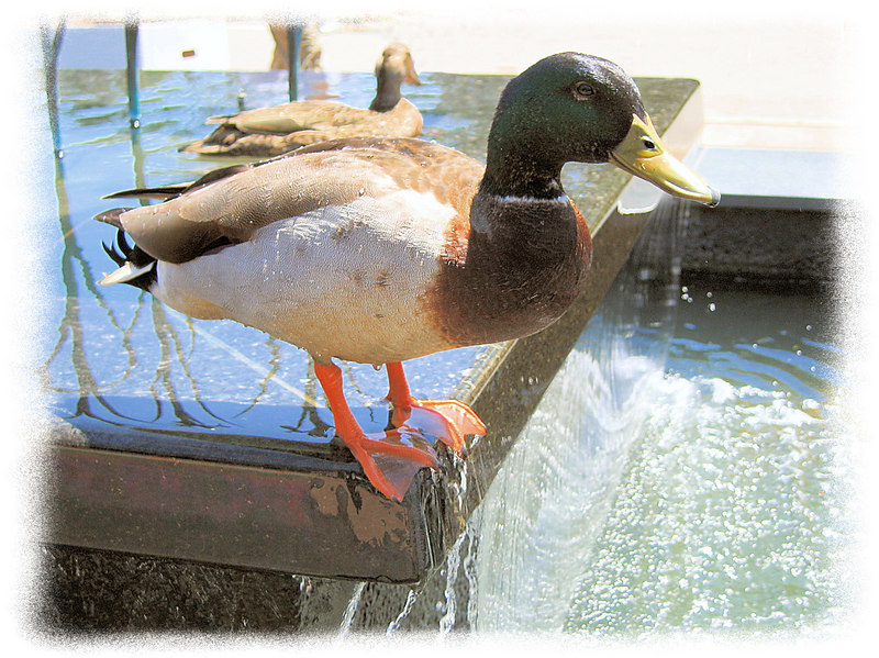 00aFavorite 20060506 Duck at Doris Duke Center at Duke Gardens [fillflash, edgefade10 frame]