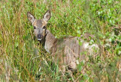 Young Roe Deer at Great Bookham, April 2014.