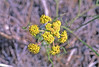 Nine-leaved desert-parsley (Lomatium triternatum).