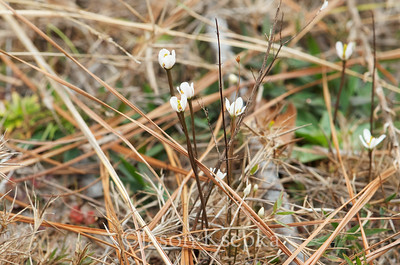 Bartonia verna, White Screwstem; Franklin County, Florida  2013-02-01  #8