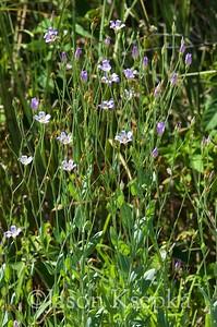 Eustoma exaltatum ssp exaltatum, Catchfly Prairie Gentian; Collier County, Florida 2016-06-23   9