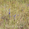 Gentianopsis crinita, fringed gentian; Sussex County, New Jersey 2017-09-21   8