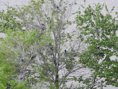 Black-crowned Night-Heron rookery on the Mtkvali River