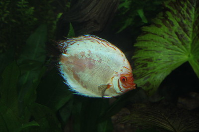 one of many colors of discus fish