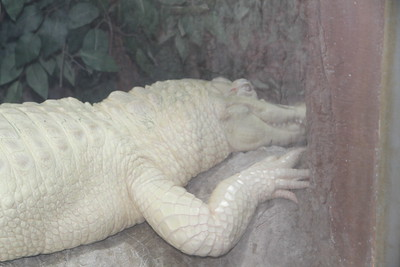 this albino alligator looked fake, but he was just sleeping