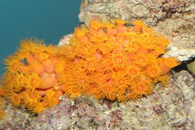 Orange Cup Coral