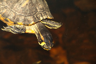 Yellowbelly Slider turtle