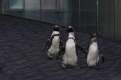African Penguins on Parade