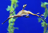 "Australian Sea Dragon  - about 8"" (20cm) long."