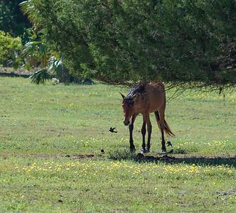 Wild Horse at Cumberland Island