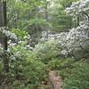 Inspection Trip - Mountain laurel in June