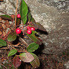 Wintergreen & berries (once harvested commercially in the Shawangunks)