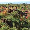 Pinecone laden tree