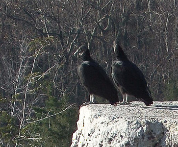Gertrude's Nose Footpath - Black Vultures Waiting for Hikers at End of Day