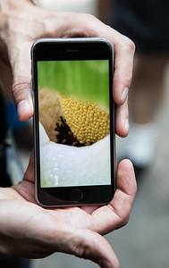 Corpse Flower (Amorphophallus titanum), Titan Arum