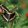 Stunning beauty!  Irredescent markings (blue, orange + black) in the bottom center wings are a sign of the Giant Swallowtail.