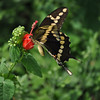 Great close-up.  The Giant Swallowtail had to act quickly...before our local Hummingbird came in for her daily visit.