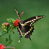 Giant Swallowtail - 4 wings with unique markings