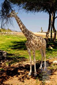 Giraffe-8x12