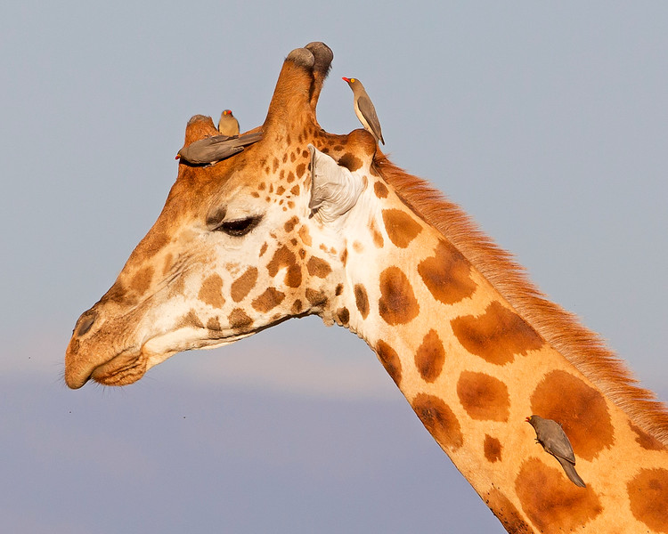 This photograph of Rothschild Giraffe was captured within Lake Nakuru National Park in Kenya, Africa (3/13).   This photograph is protected by the U.S. Copyright Laws and shall not to be downloaded or reproduced by any means without the formal written permission of Ken Conger Photography.