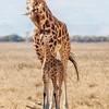 Lake Nakuru Rothschild Giraffe