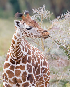 This photograph of a Rothschild Giraffe was captured in Lake Nakuru National Park, Kenya, Africa  (2/15). This photograph is protected by International and U.S. Copyright Laws and shall not to be downloaded or reproduced by any means without the formal written permission of Ken Conger Photography.