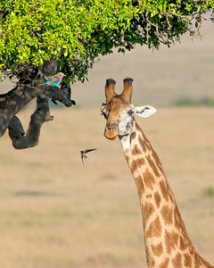 This photograph of an Giraffe with an Lilac-breasted roller in the tree was captured within the Maasai Mara National Park in Kenya, Africa (3/13).   This photograph is protected by the U.S. Copyright Laws and shall not to be downloaded or reproduced by any means without the formal written permission of Ken Conger Photography.