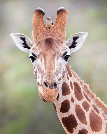 This photograph of a Rothschild Giraffe with red-billed oxpecker on head was captured in Lake Nakuru National Park, Kenya, Africa  (2/15). This photograph is protected by International and U.S. Copyright Laws and shall not to be downloaded or reproduced by any means without the formal written permission of Ken Conger Photography.