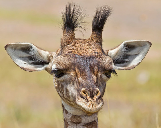This photograph of a young Giraffe was captured in Kenya, Africa (3/11).       This photograph is protected by the U.S. Copyright Laws and shall not to be downloaded or reproduced by any means without the formal written permission of Ken Conger Photography.
