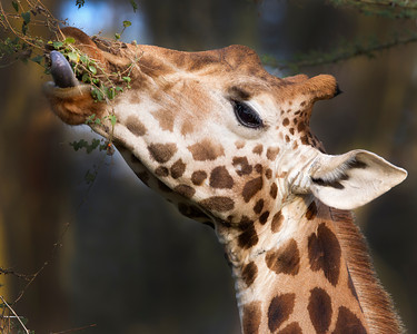 This feeding Rothschild Giraffe photograph was captured in Kenya, Africa (2/12).   This photograph is protected by the U.S. Copyright Laws and shall not to be downloaded or reproduced by any means without the formal written permission of Ken Conger Photography.