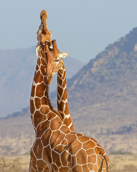 This photograph of necking Reticulated  Giraffes was captured in Samburu National Reserve, Kenya, Africa  (2/15). This photograph is protected by International and U.S. Copyright Laws and shall not to be downloaded or reproduced by any means without the formal written permission of Ken Conger Photography.