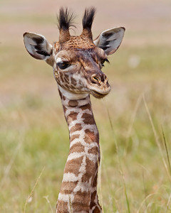 This photograph of a recently born Giraffe was captured in Kenya, Africa (3/11).         This photograph is protected by the U.S. Copyright Laws and shall not to be downloaded or reproduced by any means without the formal written permission of Ken Conger Photography.