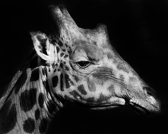 This Rothschild Giraffe photograph was captured in Kenya, Africa (2/12).   This photograph is protected by the U.S. Copyright Laws and shall not to be downloaded or reproduced by any means without the formal written permission of Ken Conger Photography.